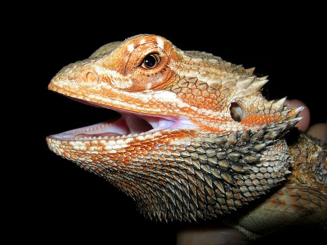 What Can I Feed My Bearded Dragon to Make Him Poop