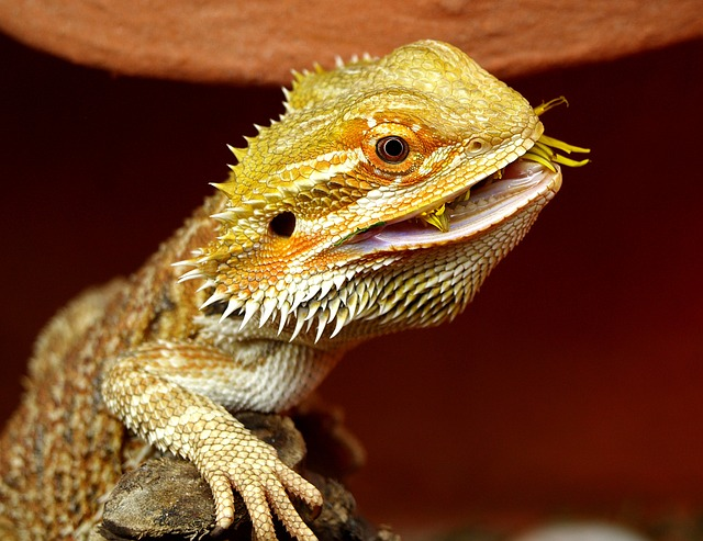 Can Baby Bearded Dragons Eat Mealworms