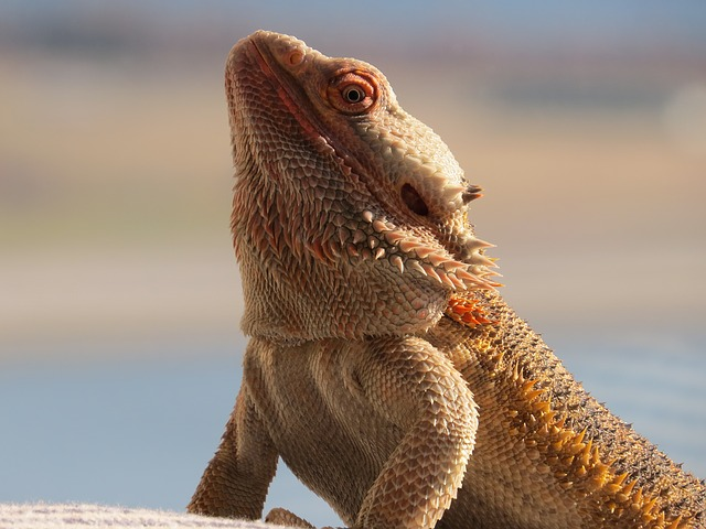 Can Bearded Dragons Fart