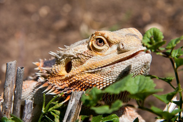 Can Bearded Dragons Eat Chrysanthemums