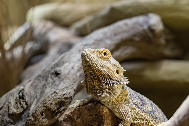 How Often Do Bearded Dragons Poop