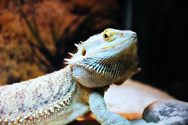 Can Bearded Dragons Eat Cauliflower