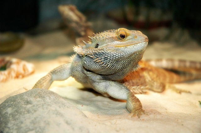 Eco Earth for Bearded Dragons