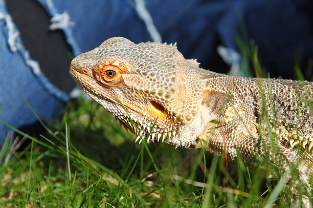 Can Bearded Dragons Eat Grass