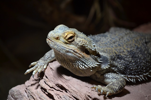 Do Bearded Dragons Sleep During the Day