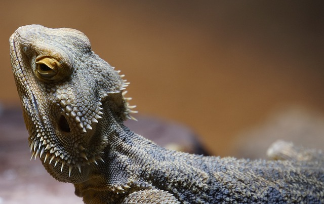 How Long Can a Bearded Dragon Go Without UVB